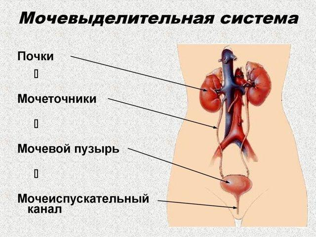 Мочевыделительная система: строение, функции у мужчин и женщин
