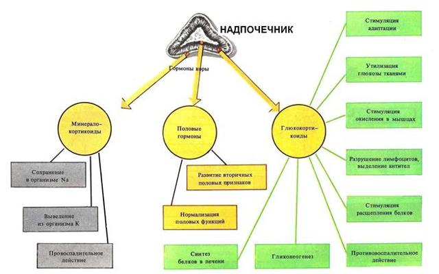 Гормоны надпочечников: строение, функции, необходимые анализы