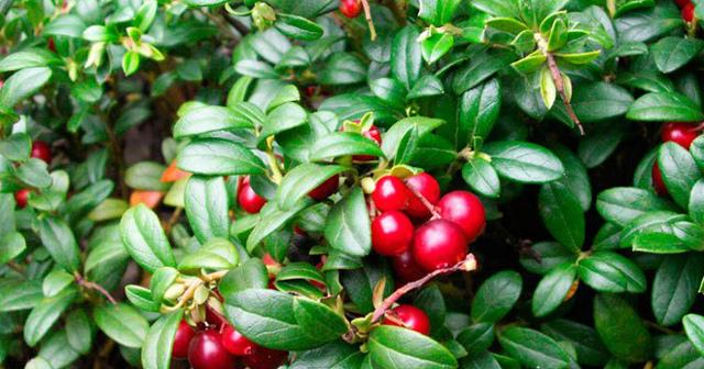 Листья брусники: применение, лечебные свойства и противопоказания