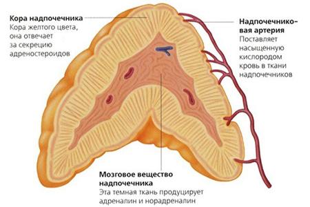 Врожденная дисфункция коры надпочечников: симптомы, диагностика и лечение