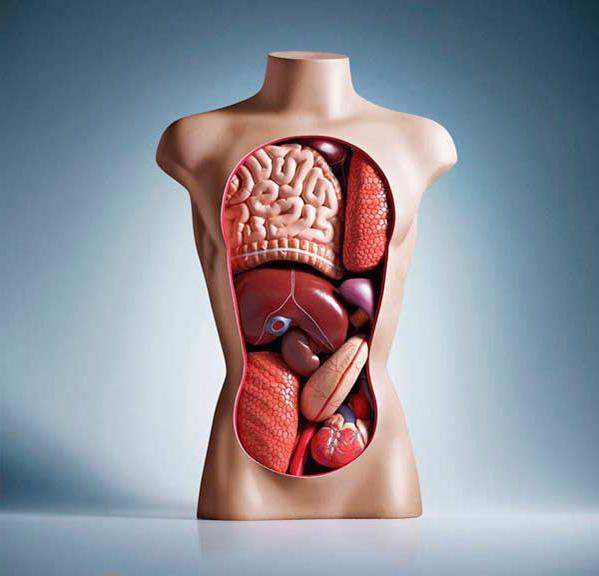 Расположение органов у человека: грудная клетка, таз и брюшная полость