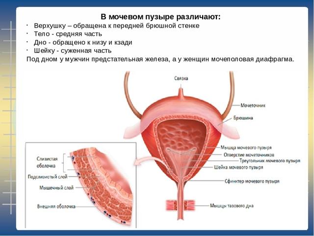 Объем мочевого пузыря: норма у мужчин, женщин, детей и новорожденных
