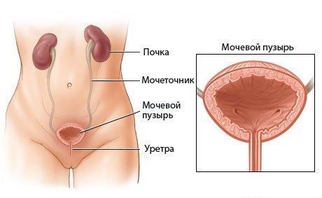 Уретра у женщин и мужчин: расположение и функции наружного отверстия