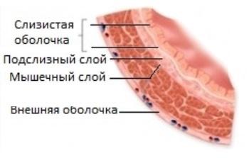 Строение мочевого пузыря у человека: функции, расположение, отделы