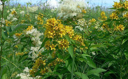 Трава пол пала в урологии: лечебные свойства и противопоказания