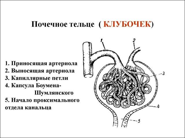 Нефрон: схема строения, типы, особенности и функции в органе