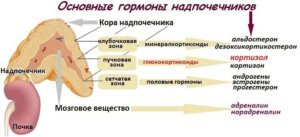 Функции и роль надпочечников в организме мужчины и женщины