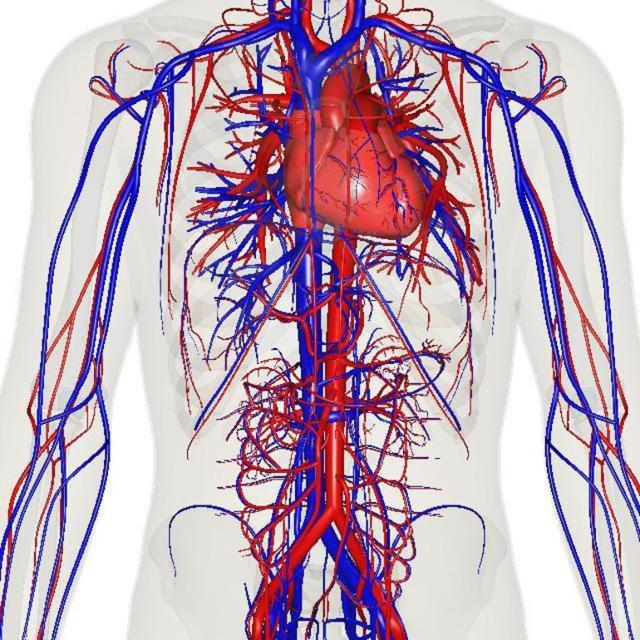 Почки: расположение, строение, функции и роль в организме человека