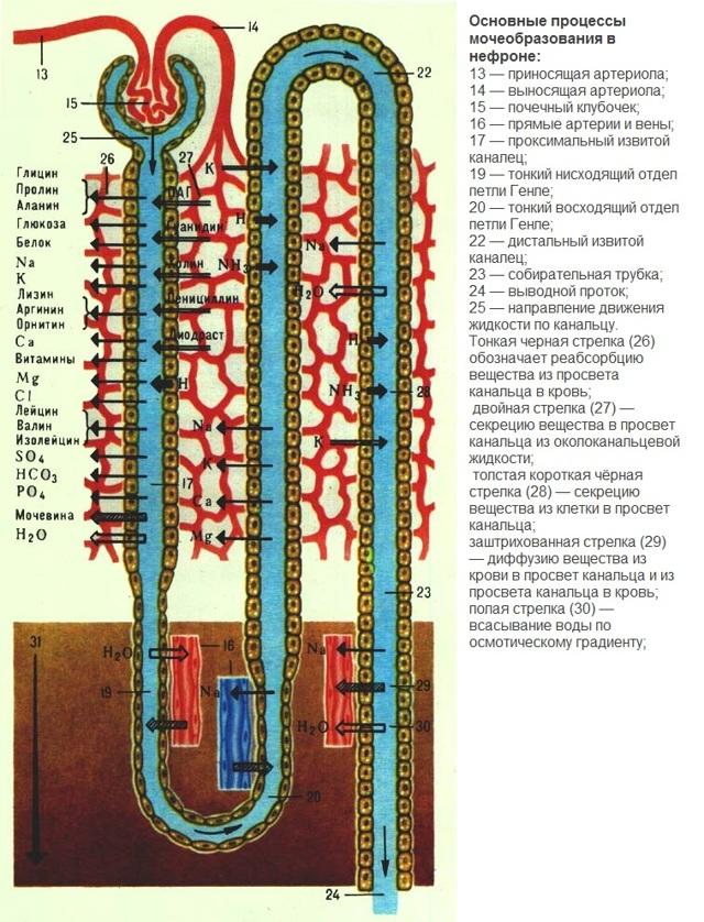 Моча: механизм образование, состав, физические свойства, химический показатель